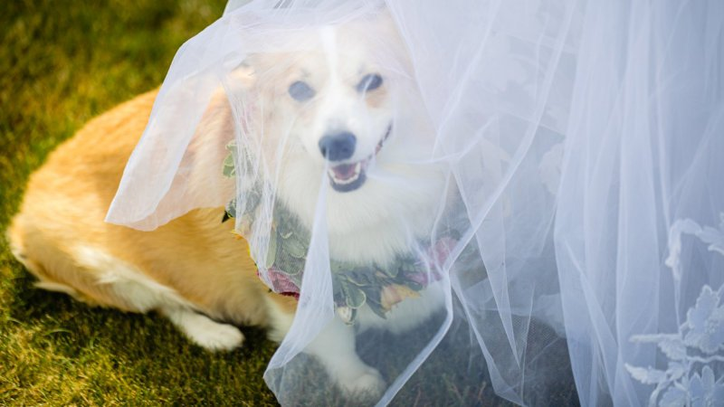 Adorable Wedding dog under Bride's Veil